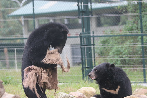 Bears playing with each other at VBRC 9,  house 8, Dec 2014