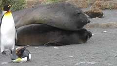 Elephant Seals Mating - Was It Good for You?