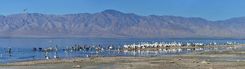 california sea panorama seagulls bird gulls saltonsea brownpelicans