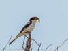 Woodchat Shrike with food by xrxss15