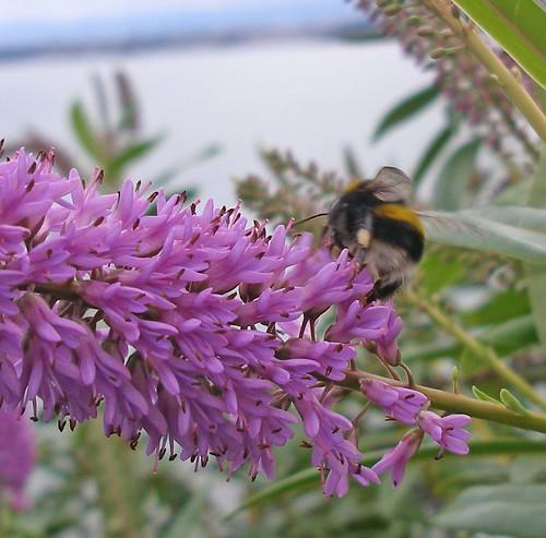Worker bumblebee on veronica in winter