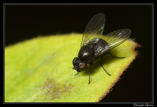 Ophiomyia nasuta