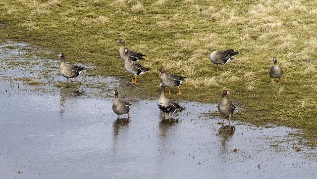 white-fronted geese 445 (75)