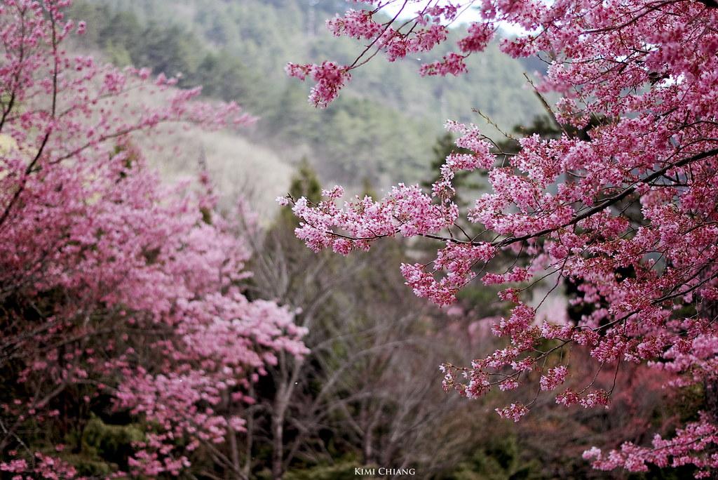 武陵櫻散策