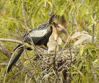 A baby anhinga has it's head in mom's mouth. The other baby is trying to get in, also.