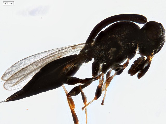 Header of Platygastridae