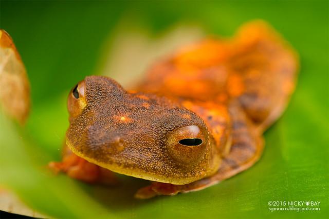 Harlequin flying frog (Rhacophorus pardalis) - DSC_2795
