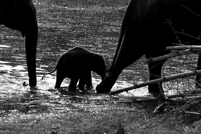 Elephants Kabini