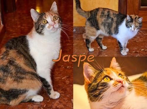 Jaspe, maravillosa tricolor de ojos cobrizos esterilizada nacida en Abril´11, necesita adopción. Valencia. ADOPTADA.  16745313292_7eefa92686