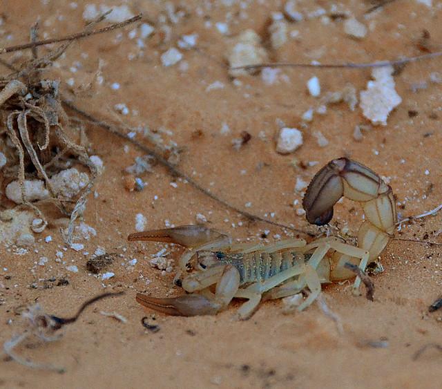 Escorpión en Túnez en mitad del desierto de Douz