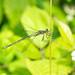 Emerald Damselfly (Lestes sponsa), young male by Hoppy1951