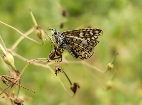 bulgaria butterfliesskippers butterflymoth europe peterphoto yellowbandedskipper dorkovo pazardjik