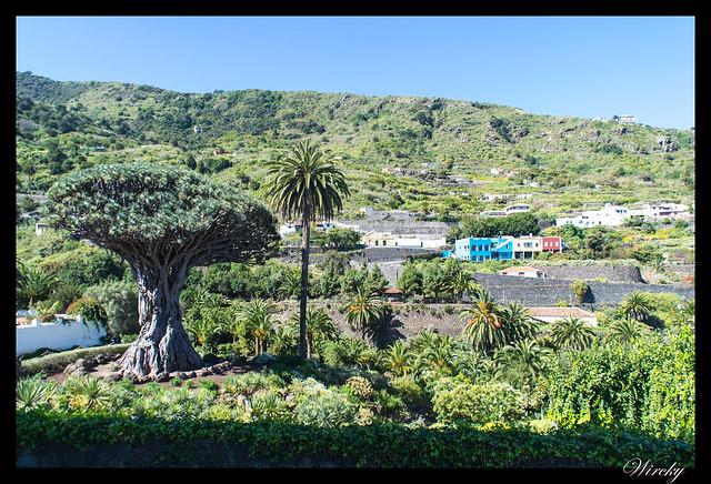 Tenerife Icod Vinos Garachico Punta Teno - Drago milenario en Icod de los Vinos