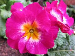 Deep pink polyanthus