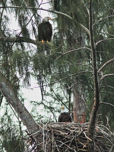 Bald Eagle new female and male 20141207