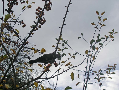 Blackbird on crab apple tree