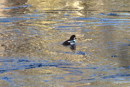 Barrows Goldeneye 1