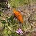Gulf Fritillary Butterfly In My Garden 2015 - 09