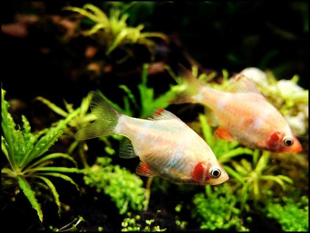 AlbinoSumatrabarben.jpg