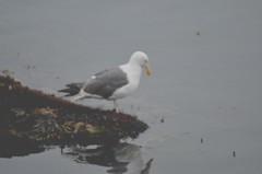 Herring Gull (3)