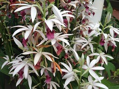 Nun Orchid