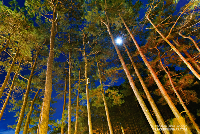 Pine Trees at Le Monet Hotel in Baguio City