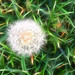 Light touched Dandelion by lil_monster0412