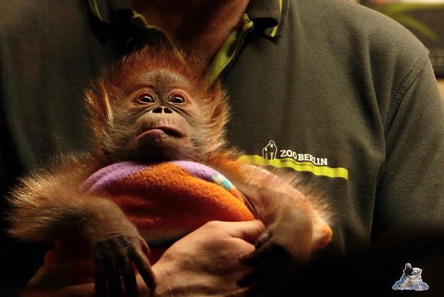 Berliner Zoo Orang Utan Rieke 22.02.2015   159