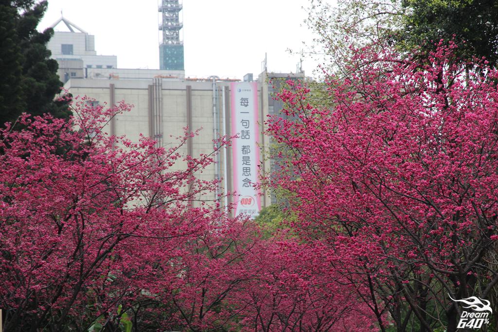 市中心櫻花林盛開!坐捷運輕鬆來去「中正紀念堂」賞櫻