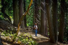 Sequoia trees, California