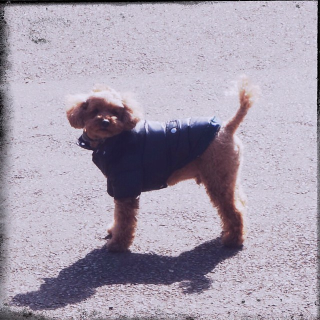 Toy Poodle wearing down jacket