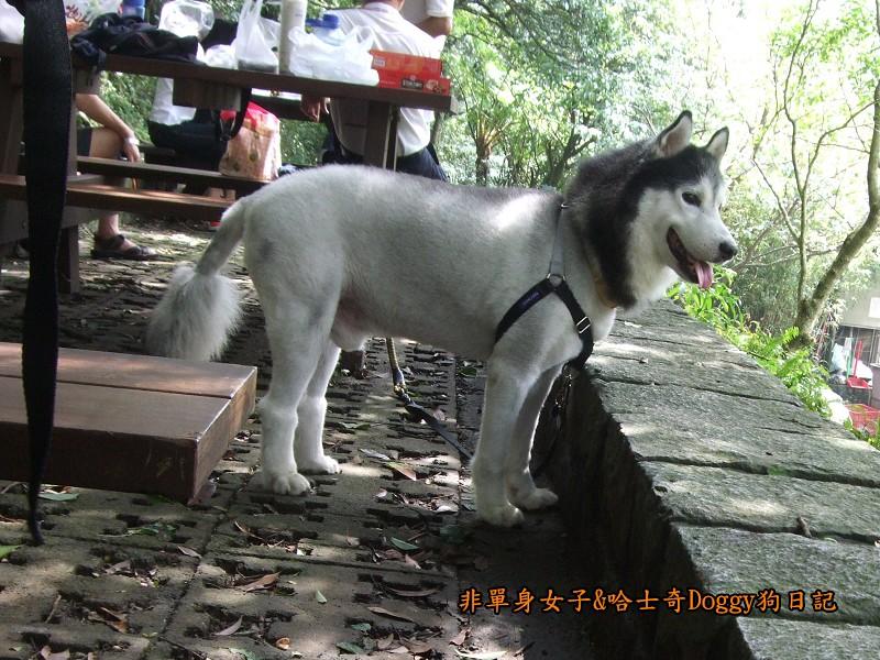 哈士奇Doggy2012陽明山二子坪01