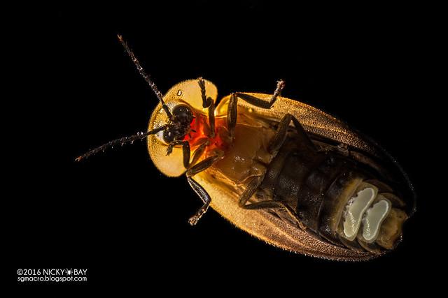 Firefly (Lampyridae) - DSC_7566