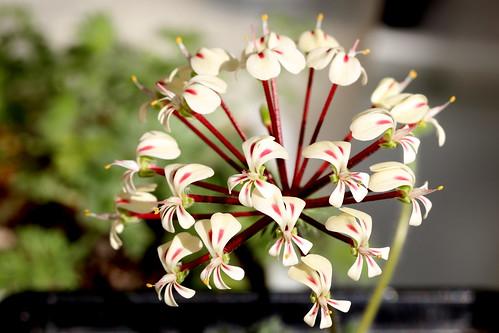 Pelargonium rubiginosum