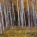 Aspen Leaves... Colorado by jason_frye