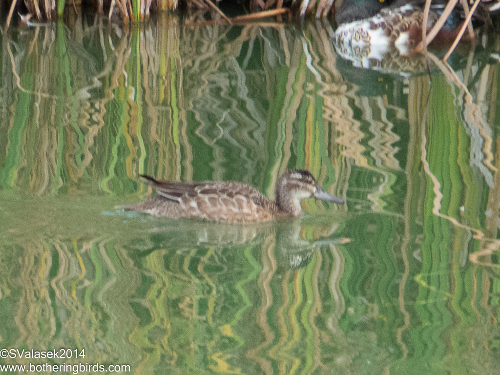 Garganey - Female