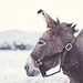 Snowy Burro by Shari Diane