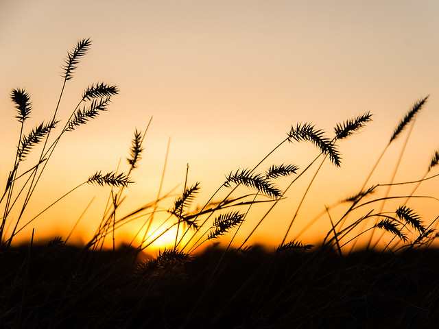 Sunset & grass, Saskatoon riverbank