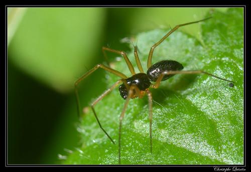 Tenuiphantes sp. mâle ?