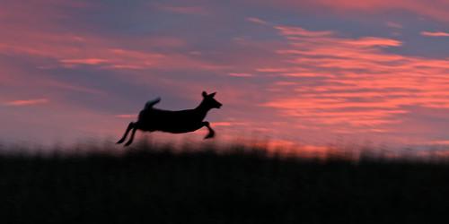 usa nature sunrise happy jumping colorado joy running dxo leaping allrightsreserved yearling whitetaildeer cherrycreekstatepark pinksunrise ef70200mmf4lis canon5dmkiii copyright2014davidcstephens dxoopticspro101 z5a4296dxosrgb