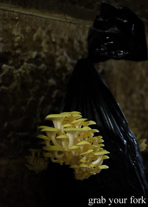 Golden oyster mushrooms in the Li-Sun Exotic Mushrooms railway tunnel, Mittagong