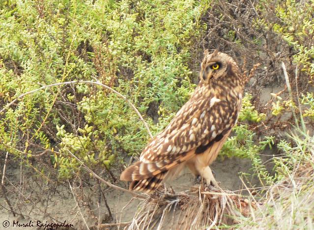 Short-eared Owl Murali