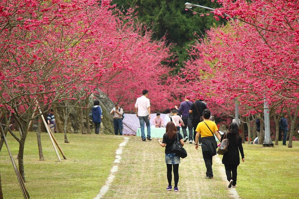 九族櫻花祭 (11)