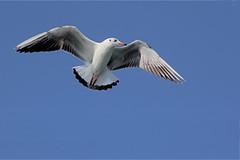 sea -gull .. at Gujrat