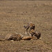 Cheetahs on a kill, Tanzania by Zul Bhatia1