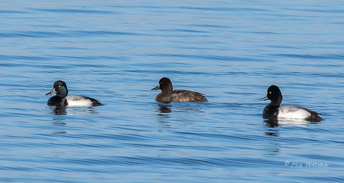 Scaup on Calm Water