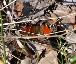 Le premier papillon dans les feuilles de l'hiver
