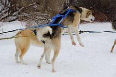 vehicle(0.0), street dog(0.0), dog sled(0.0), animal(1.0), dog(1.0), winter(1.0), snow(1.0), pet(1.0), mammal(1.0), greenland dog(1.0), sled dog racing(1.0),
