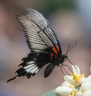 Asian Swallowtail .
