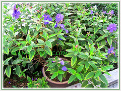 Our potted Tibouchina urvilleana or T.semidecandra, Nov 27 2014